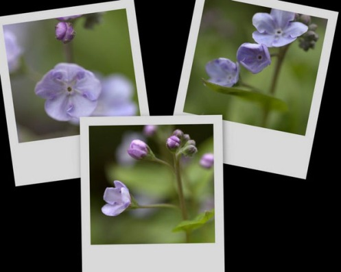 omphalodes_collage2.jpg
