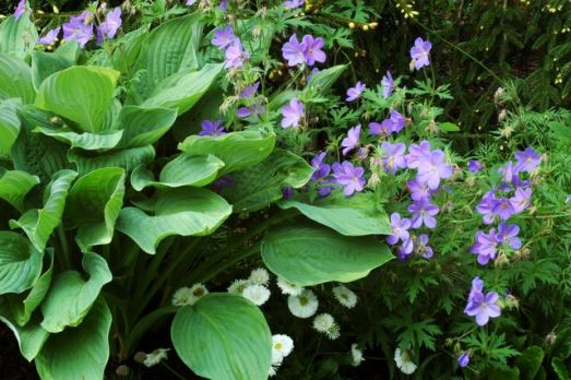 hosta_and_geranium.jpg