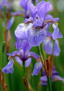 small_purple_iris
