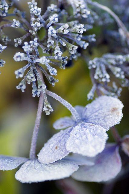blue_hydrangea_in_frost.jpg