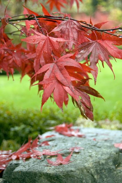 Acer Palmatumheptalobum Osakazuki In A Garden