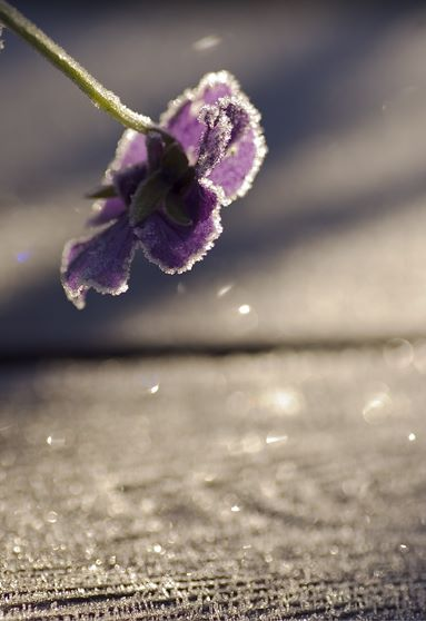viola_in_frost.jpg