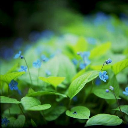 great_wall_spring_omphalodes_1