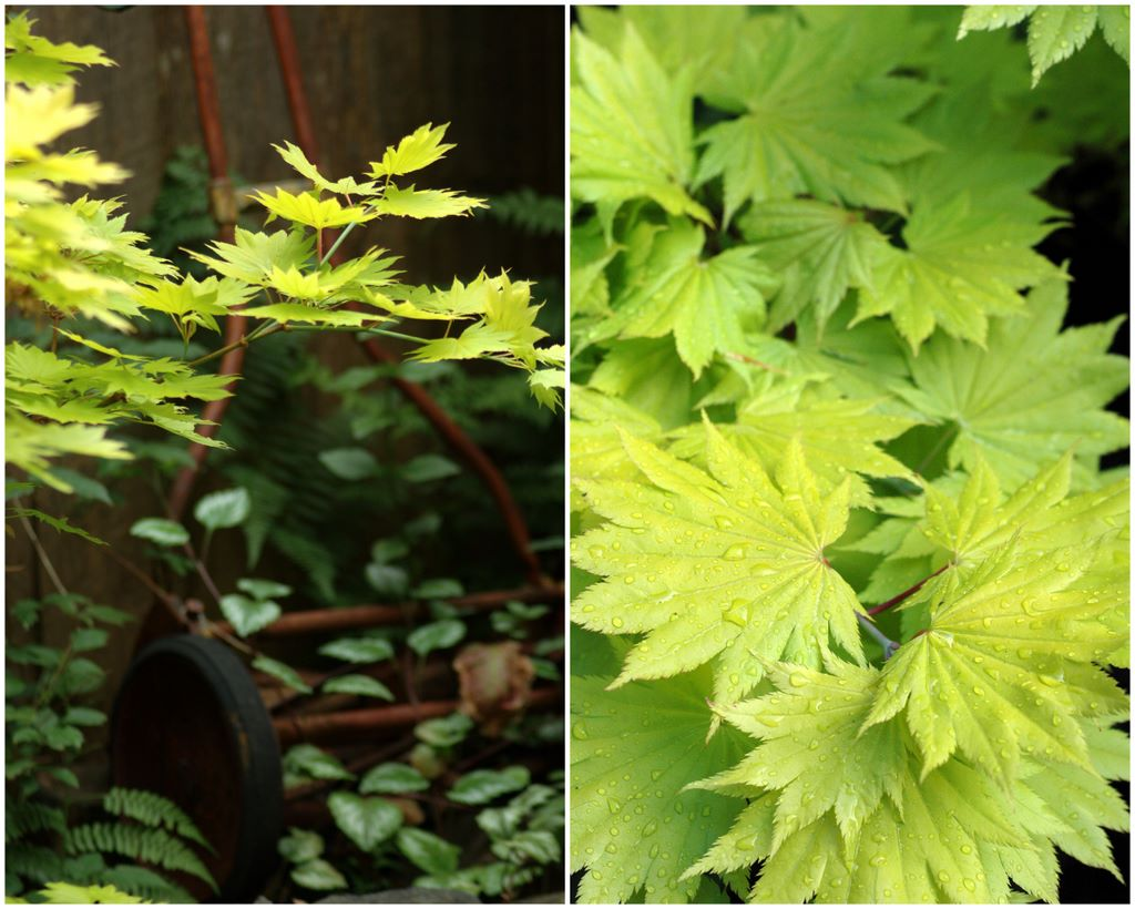 Acer Shirasawanum Aureum Golden Full Moon Maple In A Garden