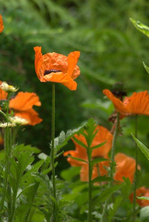orange poppy 1