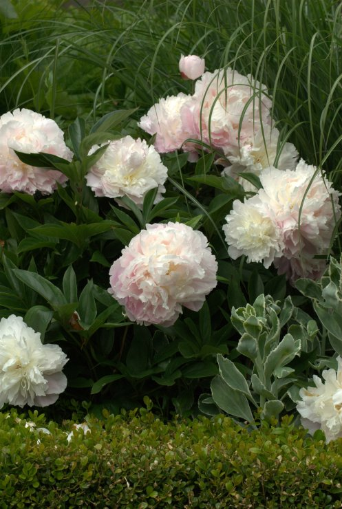 peony pretty in pale pink