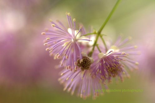 watermarked meadowrue