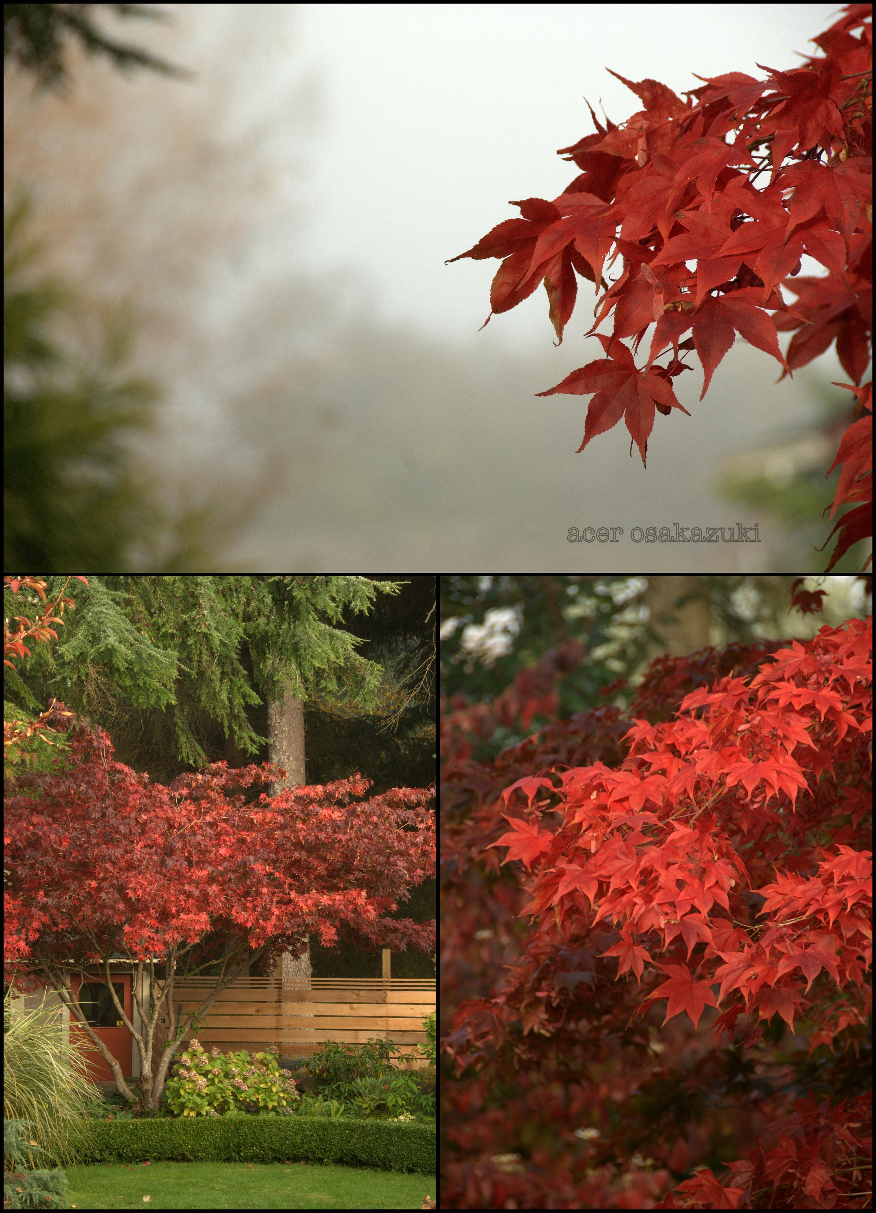 Acer Osakazuki In A Garden